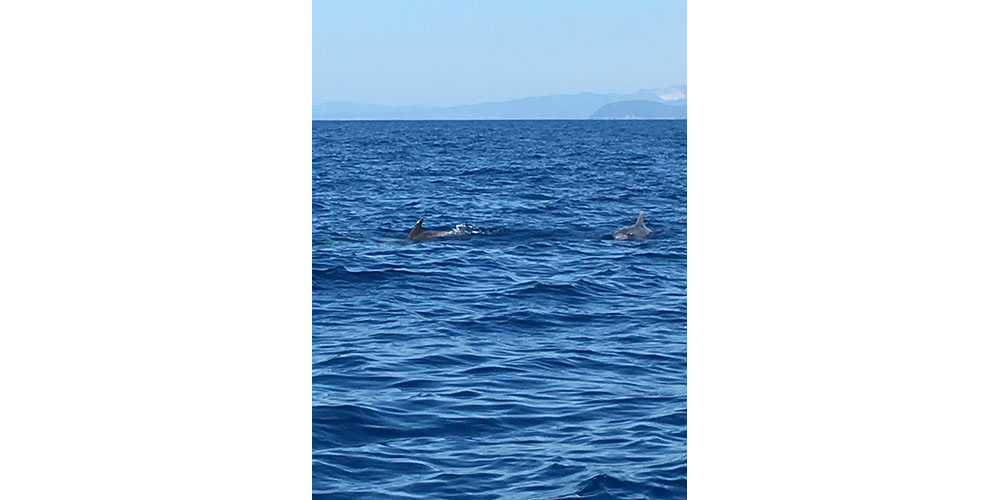 Dolphins off the coast of Elba