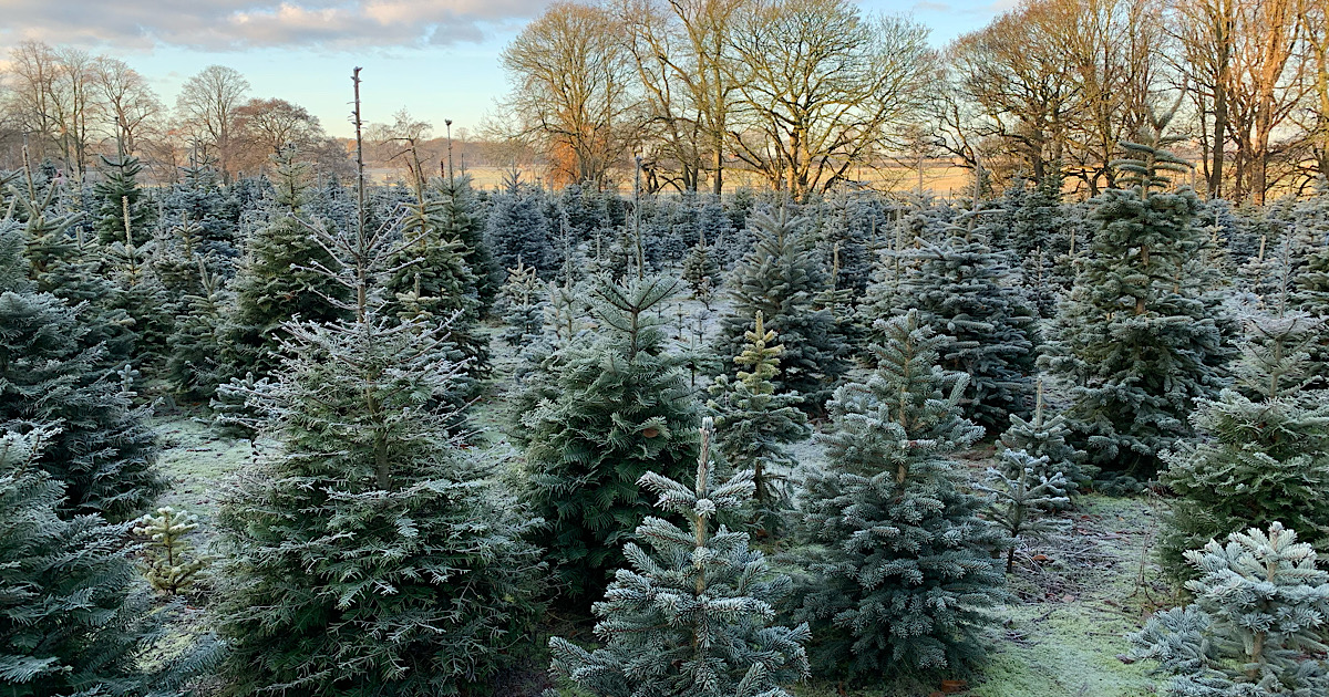THE BEST: Christmas Tree Farms in Cheshire 2020 25