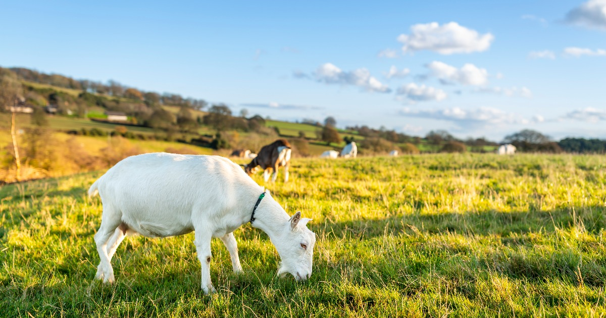Derbyshire Farm to Fork: Grumpy Farmer Goats Cheese & A Recipe from Chef David Mao 34